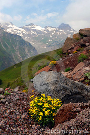 The Alpine flowers in stones