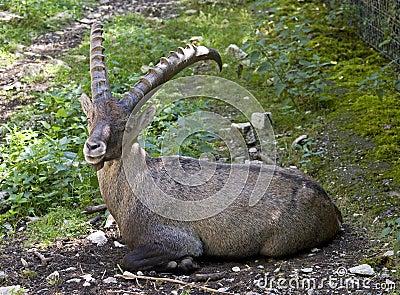 Alpine ibex 1