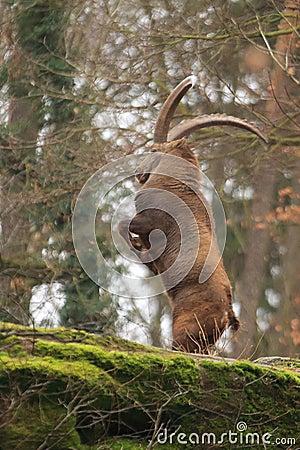 Free Alpine Ibex Royalty Free Stock Photography - 109593037