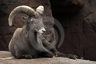 The Alpine ibex