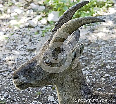 Alpine ibex 3
