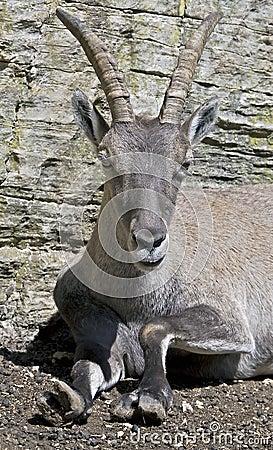 Alpine ibex 4
