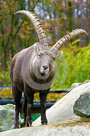 Free Alpine Ibex (Capra Ibex) Royalty Free Stock Image - 35331466