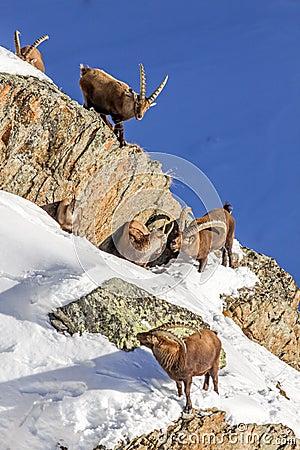 Free Alpine Ibex (Capra Ibex) Family - Italian Alps Royalty Free Stock Photography - 79232057