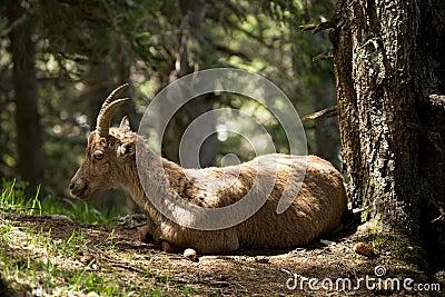 Alpine ibex, capricorn