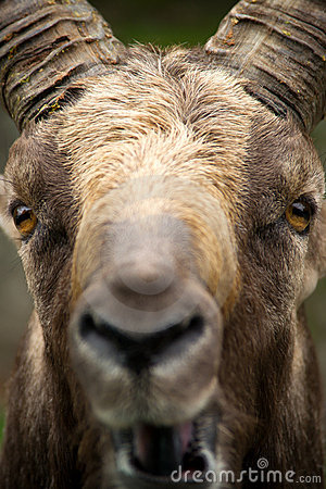 Alpine Ibex Extreme close-up of face.