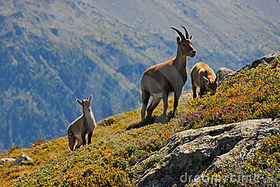 Alpine Ibex family