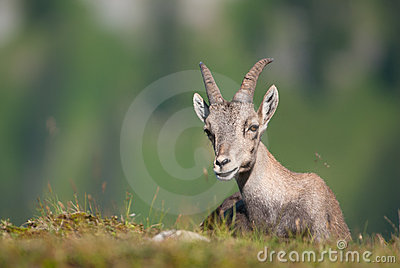 Alpine Ibex (lat. Capra ibex) in swiss alps