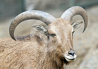 Alpine ibex - Steinbock - Portrait