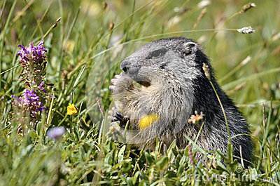 Alpine marmot eating flower