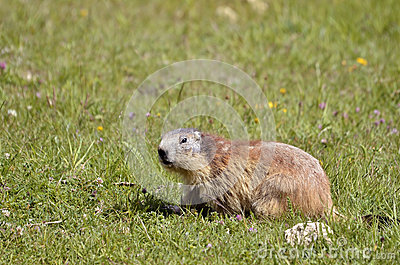 Alpine marmot in grass