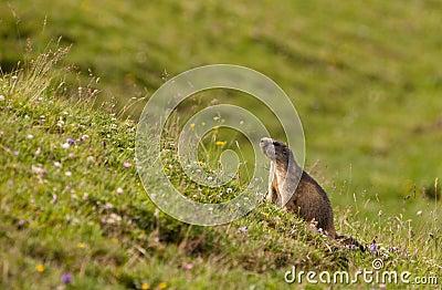 An Alpine Marmot in it´s habitat