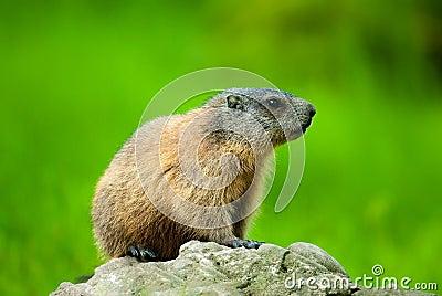 Alpine Marmot (lat. Marmota marmota)