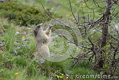 Alpine Marmot - Marmota Marmota