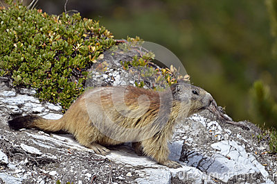 Alpine marmot on rock
