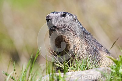 Alpine marmot in wild