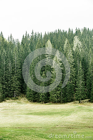 Free Alpine Pasture And Healthy Forest Of Coniferous Trees Royalty Free Stock Image - 54392916