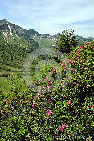 The alpine roses