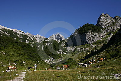 Alpine scene with cows