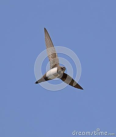 Free Alpine Swift Stock Photo - 54680330