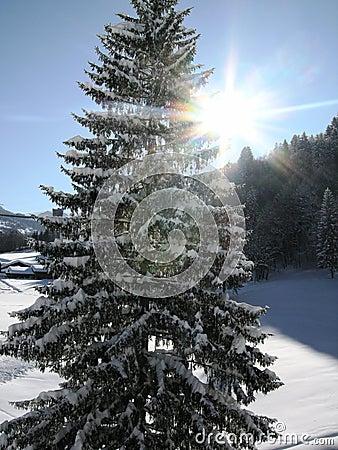 Alpine Tree In Winter Sunshine