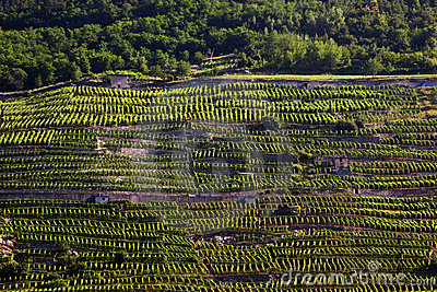 Alpine vineyards