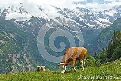 Alps Cow