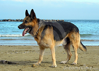 Alsatian on the beach