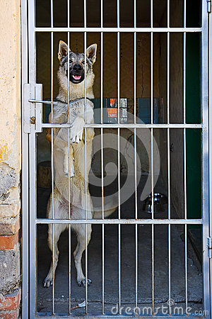 Alsatian  behind bars