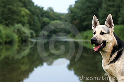 Alsatian dog at river