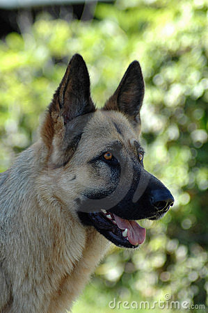 Alsatian Shepherd dog