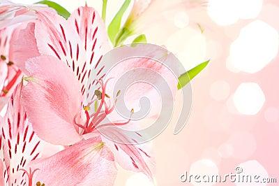 Alstroemeria/ Flower