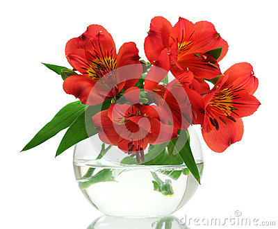 Alstroemeria red flowers in vase