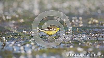 Alvéola amarela que come o inseto filme