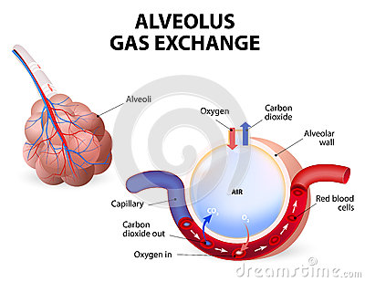 alveolus-gas-exchange-pulmonary-alveoli-capillaries-lungs-48200122