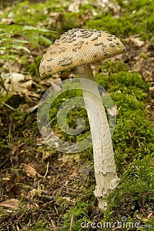 Amanita Inaurata III - Mushroom