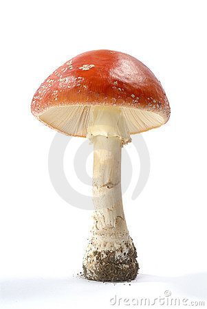Free Amanita Muscaria Royalty Free Stock Photography - 2154457