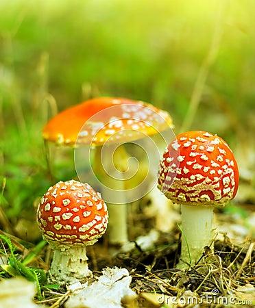 Free Amanita Muscaria Stock Images - 26670544