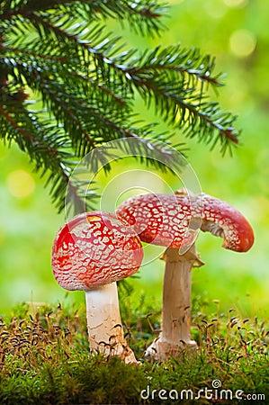 Amanita poisonous mushrooms