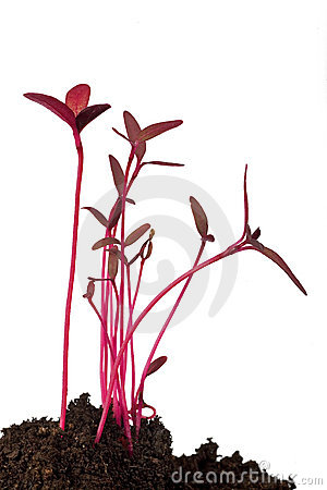 Amaranth seedling