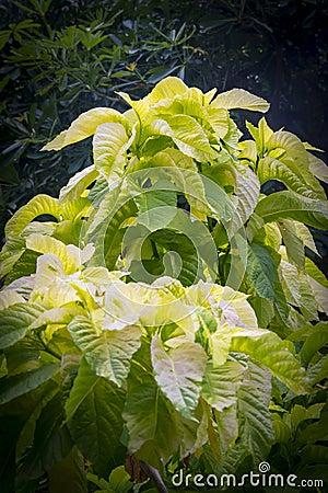 Free Amaranthus Tricolor `Early Splendor` Stock Image - 88915381