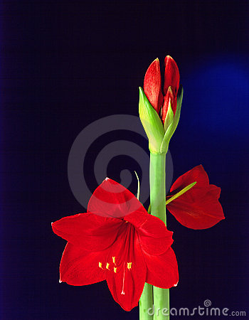 Amarillis kwiat