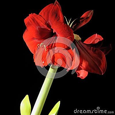 Free Amaryllis Stock Image - 12610121