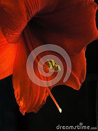 Free Amaryllis Royalty Free Stock Photos - 137828