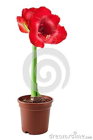 Free Amaryllis Stock Image - 17343451