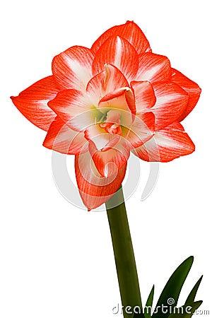 Free Amaryllis Stock Images - 4965464