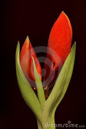 Free Amaryllis Buds Stock Photography - 1621232