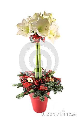 Free Amaryllis Christmas Table Decoration Stock Images - 6874174