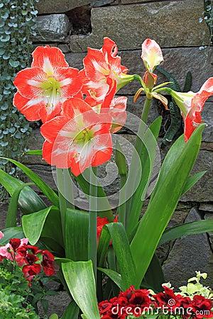 Free Amaryllis Flower Stock Photos - 39818243