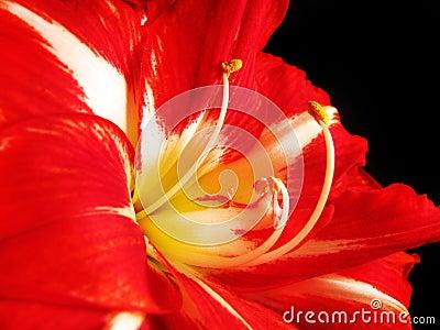 Amaryllis rouge et blanche photographie stock image for Amaryllis rouge signification